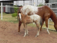Savannah Appaloosa Stud